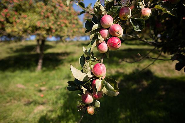 Apples for Apple Cider